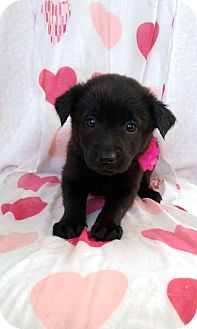 German Shepherd Dog/Labrador Retriever Mix Puppy for adoption in Elkton, Maryland - Sophie