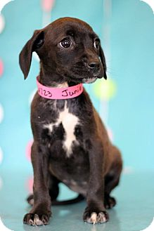 Chihuahua Mix Puppy for adoption in Waldorf, Maryland - Bambi