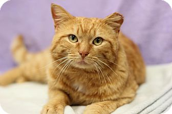 Domestic Shorthair Cat for adoption in Midland, Michigan - Patson - $10!