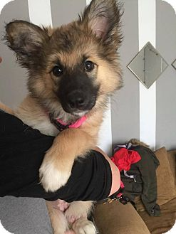 Norwegian Elkhound/German Shepherd Dog Mix Puppy for adoption in Regina, Saskatchewan - Meeka