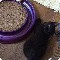 Domestic Shorthair Kitten for adoption in Chesapeake Beach, Maryland - Wild Man