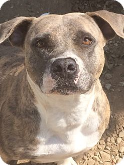 Pit Bull Terrier/Mixed Breed (Medium) Mix Dog for adoption in St. Louis, Missouri - Jemma