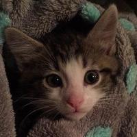 Domestic Shorthair/Domestic Shorthair Mix Cat for adoption in Elk Grove Village, Illinois - Tyson