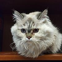 Adopt A Pet :: Ma Purr - Albemarle, NC