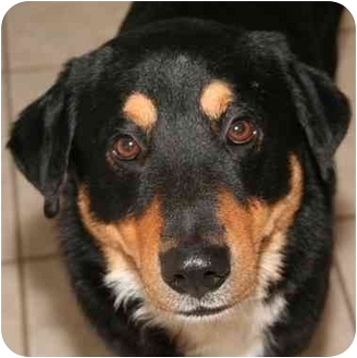 Bernese Mountain Dog Mix Dog for adoption in Kingwood, Texas - Benny