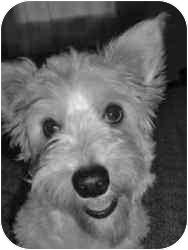 Bichon Frise/Corgi Mix Dog for adoption in Ferryville, Wisconsin - Daisy