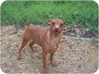 Miniature Pinscher Dog for adoption in Zanesville, Ohio - Viv