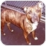 Photo 2 - Staffordshire Bull Terrier/American Staffordshire Terrier Mix Dog for adoption in New York, New York - Anna