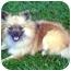 Photo 3 - Pomeranian Dog for adoption in Los Angeles, California - AUTUMN