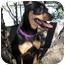 Photo 2 - Chihuahua/Miniature Pinscher Mix Puppy for adoption in Santa Barbara, California - Lexi