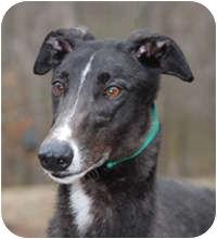 Greyhound Dog for adoption in Ware, Massachusetts - Rocco
