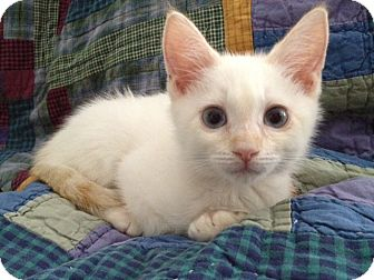 Siamese Kitten for adoption in Los Angeles, California - Liam