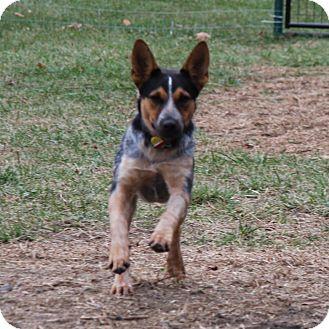 Australian Cattle Dog Dog for adoption in Delano, Minnesota - Rosie