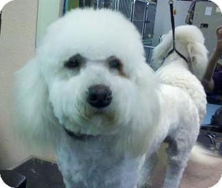 Bichon Frise Mix Dog for adoption in Seattle, Washington - 2 boy Bichons!