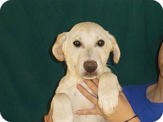 Golden Retriever/Labrador Retriever Mix Puppy for adoption in Oviedo, Florida - Cam