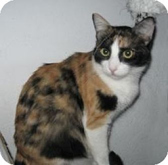 Calico Cat for adoption in Mission Viejo, California - Holly