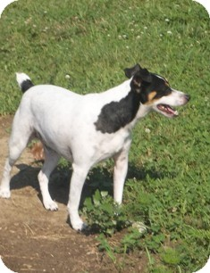 Smooth Fox Terrier/Rat Terrier Mix Dog for adoption in McArthur, Ohio - BANDIT