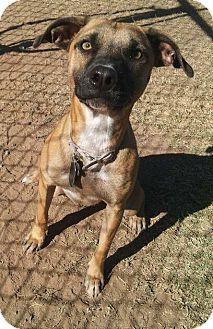 Whippet Mix Dog for adoption in Scottsdale, Arizona - Gabby