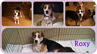 Australian Shepherd/Boxer Mix Puppy for adoption in DOVER, Ohio - Roxy