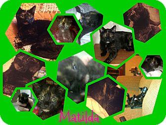 Domestic Shorthair Cat for adoption in Plainfield, Connecticut - Matilda
