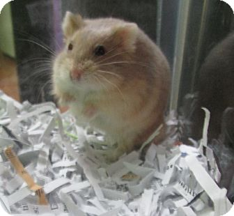 Hamster for adoption in Benbrook, Texas - Alfie