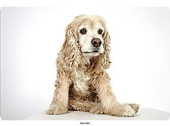 Cocker Spaniel Mix Dog for adoption in New York, New York - Max Man