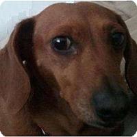 Adopt A Pet :: Suzy - Rigaud, QC