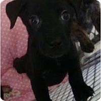 Adopt A Pet :: Gobstopper - willie wonka pup - Phoenix, AZ