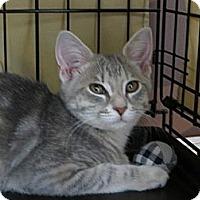 Adopt A Pet :: Lady Gaga - Frederick, MD