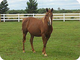 Arabian for adoption in Cantonment, Florida - Amirah