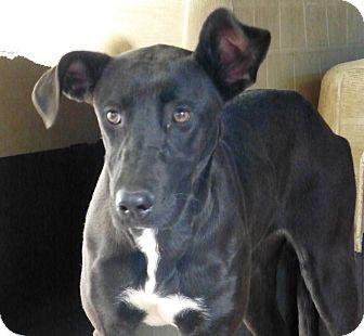 Labrador Retriever/Shepherd (Unknown Type) Mix Dog for adoption in Henderson, North Carolina - Tracy