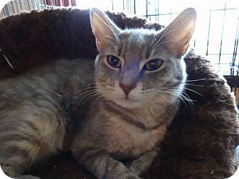 Domestic Shorthair Cat for adoption in Colmar, Pennsylvania - Angelina