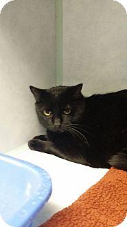 Domestic Shorthair Cat for adoption in Cody, Wyoming - Sirius