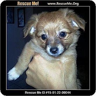 Pomeranian Mix Puppy for adoption in Murrieta, California - Foxy