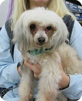 Chinese Crested/Poodle (Miniature) Mix Dog for adoption in Manhattan, Kansas - Lilly