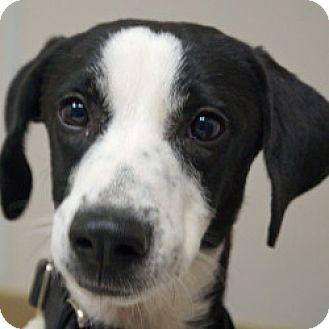 Whippet Mix Puppy for adoption in Eatontown, New Jersey - Jerry