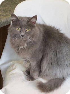 Russian Blue Cat for adoption in tama, Iowa - Shyloh