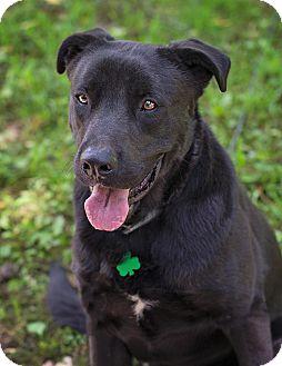 Labrador Retriever Mix Dog for adoption in Lewisville, Indiana - Joshua