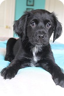 Golden Retriever/Labrador Retriever Mix Puppy for adoption in Allentown, Pennsylvania - Diaz