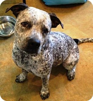 Cattle Dog/Pit Bull Terrier Mix Dog for adoption in Dover, Tennessee - Mae West