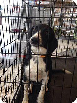 German Shepherd Dog Puppy for adoption in Denver, Colorado - elmo