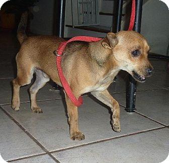 Chihuahua/Terrier (Unknown Type, Medium) Mix Dog for adoption in Phoenix, Arizona - Nelson
