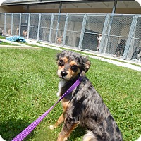 Adopt A Pet :: ShyAnn - West Deptford, NJ