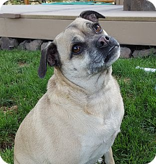 Pug Mix Dog for adoption in Bend, Oregon - Tawny-Looking for Love!