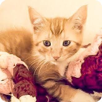Domestic Shorthair Kitten for adoption in Columbia, Illinois - Brinks