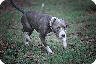 American Pit Bull Terrier Mix Dog for adoption in Gorham, Maine - Deja