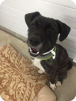 Wheaten Terrier Mix Dog for adoption in Lebanon, Maine - Felix-LOCAL