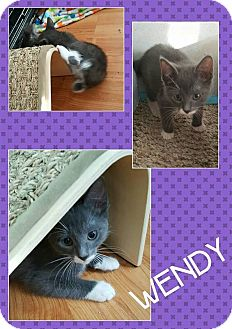 Manx Cat for adoption in North Richland Hills, Texas - Wendy
