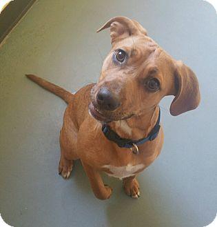 Redbone Coonhound/Retriever (Unknown Type) Mix Dog for adoption in Sparta, New Jersey - Patch