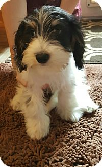 Cairn Terrier Mix Puppy for adoption in Bend, Oregon - Alvin